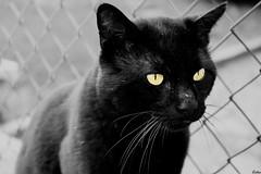 50 Shades Of Black. ( Lettie Photography ) Tags: blackandwhite bw cats monochrome animal animals cat blackcat blackwhite noiretblanc monochromatic nb animaux noirblanc bnwsociety bnwlife bnwadd bnwmagazine bnwaddicted