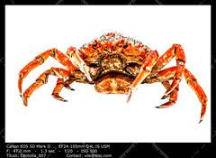 Spider Crab (__Viledevil__) Tags: life red sea food fish cooking nature animal dinner spider marine wildlife leg shell crab claw shellfish seafood aquatic cooked crustacean boiled gastronomy marinelife arthropod prepared spidercrab crableg seaspider animalleg preparedshellfish preparedcrustacean preparedcrab