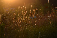 Hanson, MA (Megan Sylvester photo) Tags: outdoor grass sunshine sunset warm warmth daisy nikon serene plant texture