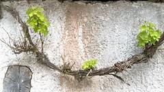 pared y vid -- wall and vine (Roger S 09) Tags: wall pared vine asturias vid santaeulalia cabranes santolaya lallantada paredyvid wallandvine
