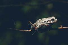 Gray tree frog in New Jersey (markmartucciphoto) Tags: new macro tree nature animals gray nj amphibian frog jersey markmartucciphotography
