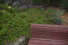 Grevillea infundibularis, Kings Park, Perth, WA, 18/05/16 (Russell Cumming) Tags: plant perth kingspark westernaustralia grevillea proteaceae grevilleainfundibularis