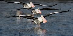 The Pelicans are coming! (christinaportphotography) Tags: pink wild bird birds flying focus dof free australia pelican formation nsw centralcoast australianpelican pelicanusconspicillatus