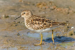 Least Sandpiper (tresed47) Tags: 2016 201605may 20160525newjerseybirds birds canon7d content folder leastsandpiper newjersey peterscamera petersphotos places sandpiper takenby us waders wetlandsinstitute