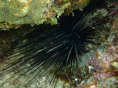 Roatan, Honduras (Daniel Gillaspia) Tags: sea roatan urchin roatanhonduras roatanwestbay roatanreef roatancoral roatansnorkel