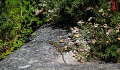 01857 (Tres-R) Tags: espaa animals spain lizard galicia animales pontevedra lagartija riasbaixas airelibre morrazo tresr sonyrx10 rodolforamallo