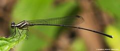 Damselfly (Shamsul Hidayat Omar) Tags: lens nikon bio 55mm malaysia omar damselfly selangor biodiversity odonata hidayat micronikkor greatphotographers shamsul kepelbagaian d800e