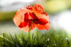 A poppy in my eyes (michaelinvan) Tags: canon poppy f2 backlit 135mm 5d2