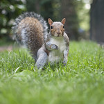 "Brave squirrel on the grass<a href=""http://www.flickr.com/photos/28211982@N07/27828696056/"" target=""_blank"">View on Flickr</a>"