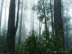 Misty morning in Emerald (Naomi Creek) Tags: nature misty fog foggy hills emerald