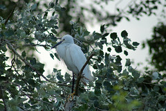 Little Egret In Tree (clare.blandford) Tags: little hampshire egret calshot southamptonwater