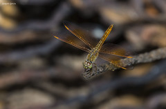 The ditch jewel (Brachythemis contaminata) (surferjaws) Tags: drangofly bangkok thailand floating market libelulas