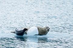 Alaska-6073657 (Ned Awty) Tags: cruise alaska phillips seals whittier seaice brash 26glacier