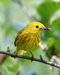 Yellow warbler (jlcummins - Washington State) Tags: bird wildlife washingtonstate leechlake coth yakimacounty coth5
