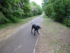 Chewstick! (Lexie's Mum) Tags: dog nature walking countryside branch path stick footpath lester wak weddington