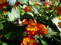Heliconius Doris (twacar) Tags: flowers plants montreal insects bugs montrealbotanicalgarden buterflies dorislongwing butterfliesgofree mainexhibitgreenhouse