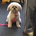 2013/12/3 - Tulip the Lhasa Mix - Shelley the Groomer - Downers Grove - Il