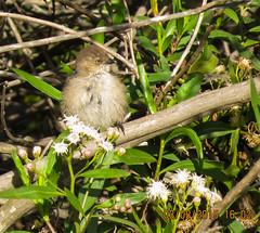Bushtit Madrona Marsh 7099 (pekabo90401) Tags: birdwatching bushtit madronamarsh southerncaliforniabirds birdwatchinglosangeles pekabo90401 birdsofmadronamarsh