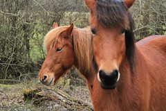 Horses in the new forest (Matthew Douglass) Tags: wood horse brown tree animal forest nose head ears