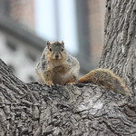 Squirrels & Squirrel Condo on a Cold Spring Day at the University of Michigan (March 23, 2015) thumbnail