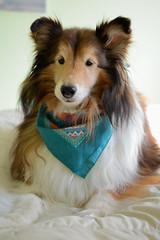 you are so beautiful to me    14/52 (courtney065) Tags: nikond600 bravo dogs canines shelties shetlandsheepdogs 52weeksfordogs pets dogphotography petphotography dogportraits petportraits herdingdogs animal
