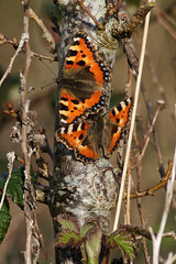 Small Tortoiseshells (Adrian-Read) Tags: spring butterflies insects dorset april smalltortoiseshell extensiontube tamronaf55200mmf456diiild lortonmeadows sonynex6