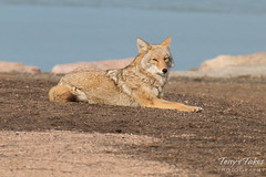 Female coyote relaxes near the water
