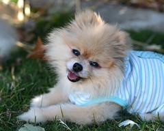 Yonnie Dog (PhotosbyDi) Tags: dog pet pomeranian yonnie toypomeranian nikond600 tamronf2890mmmacrolens