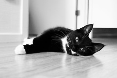 Black and white cat (alindinlarsson) Tags: bw white black cute eye cat nose paw eyes floor sweden ears ear sverige paws nos vitt svart tass ga vit bergslagen ron gon ra tassar glov