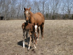 Golddigger & Penny (lexsalerno) Tags: horse mare beware chestnut thoroughbred equine filly golddigger foal munnings
