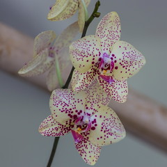Orqudea - 13 (Jos M. Arboleda) Tags: orchid flower canon eos colombia jose flor internacional orchidaceae orquidea 5d exposicin arboleda markiii popayn ef70200mmf4lisusm josmarboledac