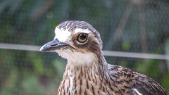 PC Curlew (Theen ...) Tags: brown black bird net fence lumix eyes long bokeh beak large police beat tropical adelaide aviary tall companion constable plumage curlew mournful lages adelaidezoo bushthickknee bushstonecurlew theen policement noctumal