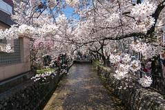 Cherry blossoms @kiyamachi (ichiro.maruta) Tags: japan kyoto   sakura kiyamachi  nex5t
