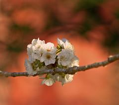 Flores (vic_206) Tags: flower bokeh flor canon300f4lis canoneos7d