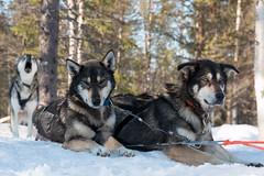 Samba and Inka (Markus Trienke) Tags: winter finland husky finnland kuusamo eräsusi nordösterbotten