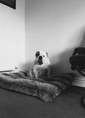Winston Noir - iPhone6 Plus Challenge (cmceye) Tags: dog 6 white black animal noir indoor bulldog plus blanc iphone