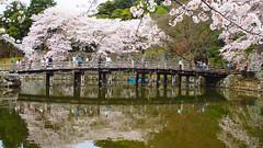 Sakura, cherry blossoms in Hikone castle.   (T.Kiya) Tags:  cherryblossom sakura