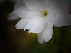 (Aquilegia1) Tags: white nature garden spring natur beetle cherryblossom weiss garten kirschbluete kafer panasonicdmcgx7