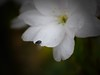 (Aquilegia1) Tags: white nature garden spring natur beetle cherryblossom weiss garten kirschbluete käfer panasonicdmcgx7