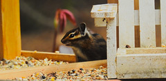 Chipmunk Feeding