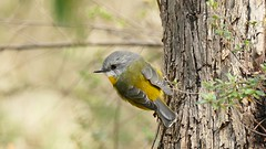 Eastern Yellow Robin (Rodger1943) Tags: robins australianbirds easternyellowrobin fz1000