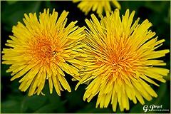 BRIN DE PRINTEMPS (Gilles Poyet photographies) Tags: nature fleurs printemps soe auvergne puydedme autofocus nonette aplusphoto artofimages