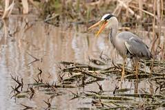 Grey Heron (Sheila Newcombe) Tags: heron grey angus kinnordy