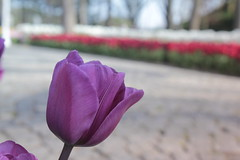 _MG_4321 (Gkmen Kmrt) Tags: flower tulip 2015 emirgan laleler