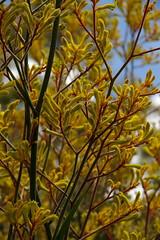 Kangaroo Paw (finwyal) Tags: australia australianflora kangaroopaws