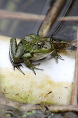 Frog (historygradguy (jobhunting)) Tags: ny newyork animal amphibian upstate frog easton washintoncounty