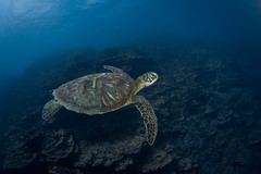 Cruisin' - Green Sea Turtle, Apra Harbor, Guam (RCG Maru) Tags: yellow cheloniamydas greenseaturtle apraharbor nikond800 russellcgilbertunderwaterphotography sigma15mmfisheyelens ikeliteunderwaterstrobes nexusunderwaterhousings gabgab1 gabgab1divesite