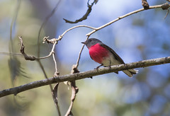Rose Robin (christinaportphotography) Tags: pink wild bird beautiful robin birds rose dof bokeh free australia nsw centralcoast roserobin petroicarosea dharugnp