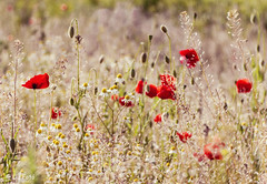 Wild red poppy and chamomile flowers in the meadow. (lajza27) Tags: flowers red love nature spring hungary bright outdoor meadow poppy termszet kamilla pipacs chamomile naturelovers m42lens mez trioplan rt 2016may imdomatermszetet