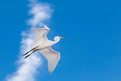 Great white egret (gtb2003) Tags: birds alligator chicks fl staugustine greatblueheron greategret herons nesting egrets tricoloredheron woodstork roseatespoonbill snowyegrets littleblueheron alligatorfarm